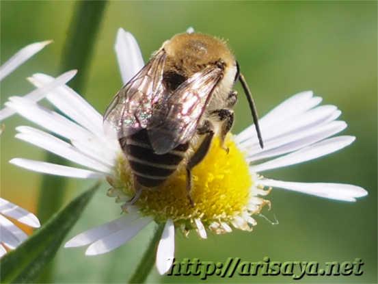 みつ蜂の背中と花