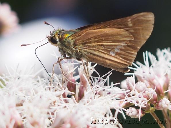 セセリ蝶と花