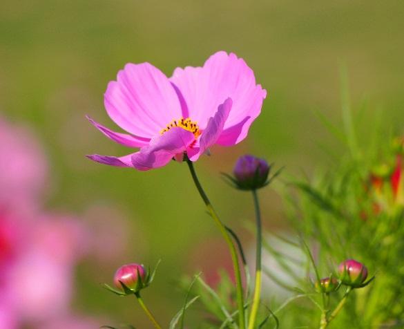 ピンクのコスモスと蕾2