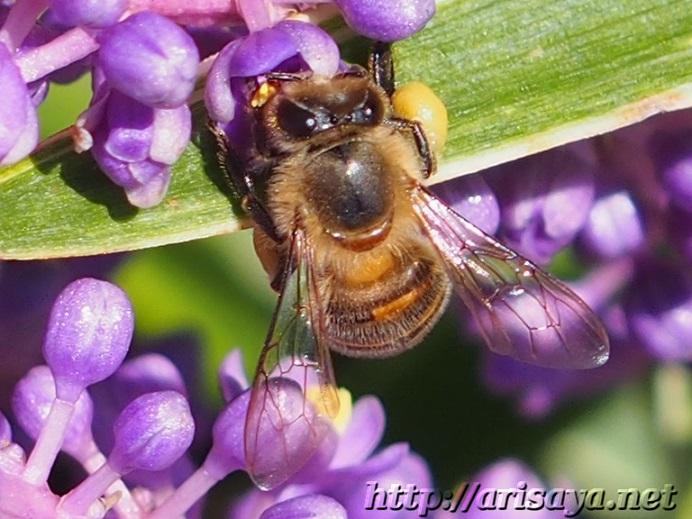 ヤブランとミツバチ