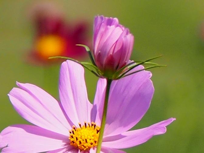 咲きそうな蕾