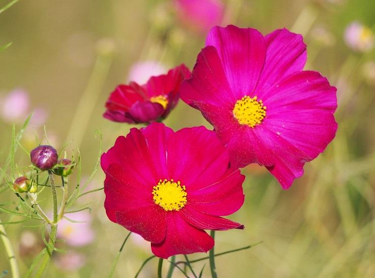 濃いピンクのコスモス