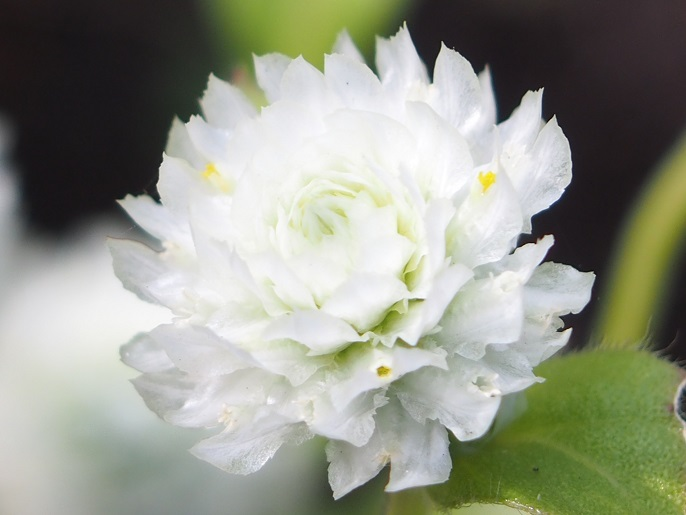 白の百日草