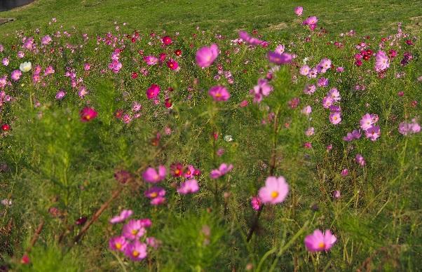 荒野に咲くコスモス