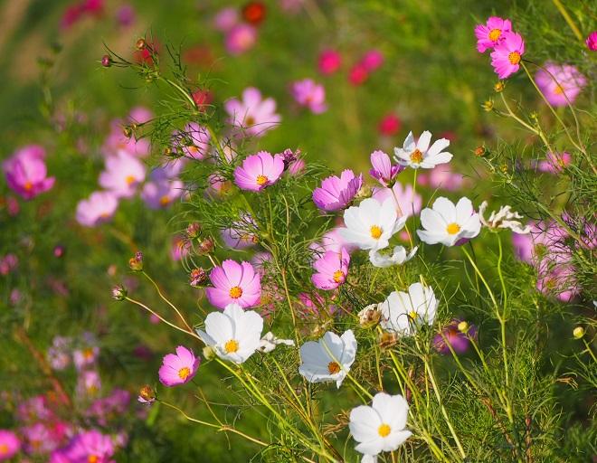 荒野に咲くコスモス2