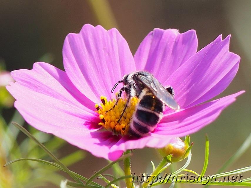 ピンクのコスモスと蜂