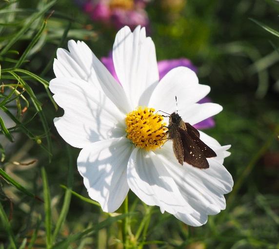 コスモスとセセリ蝶