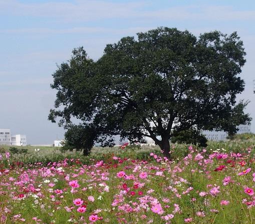 コスモスと木